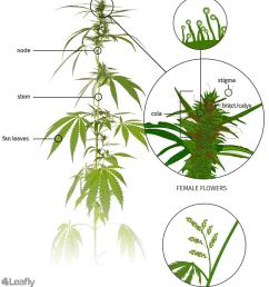 Marijuana Anatomy Plant Structure Diagram - hydrilla verticillata uf