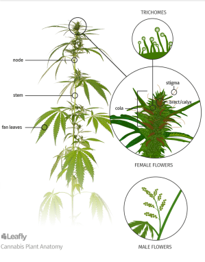 Anatomy of Marijuana Plants: The Different Parts | Leafly