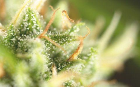 cannabis aromatherapy