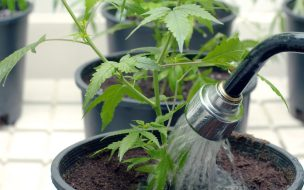 Image result for Watering Marijuana Plants