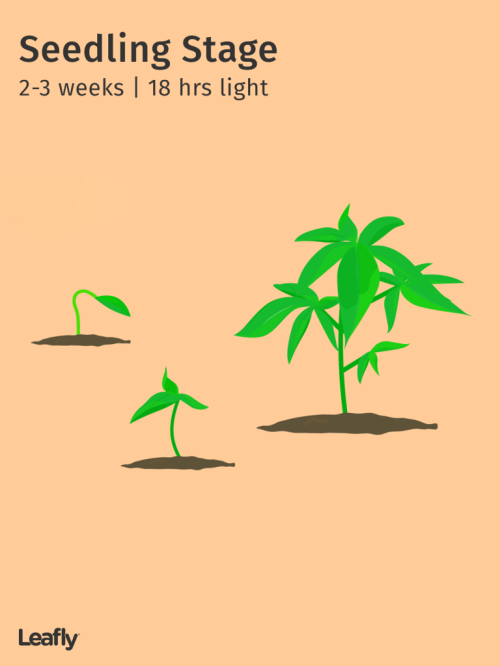 small resolution of seedling stage 2 3 weeks