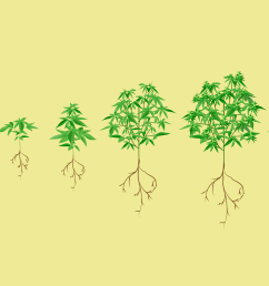 stages of the cannabis plant growth cycle [ 3842 x 2402 Pixel ]