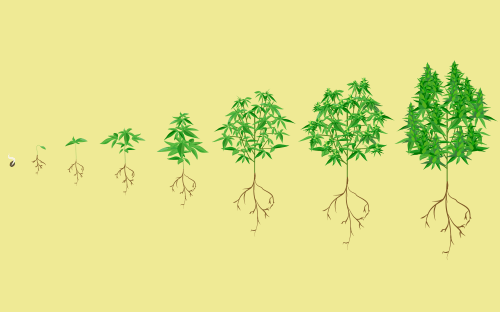small resolution of stages of the cannabis plant growth cycle