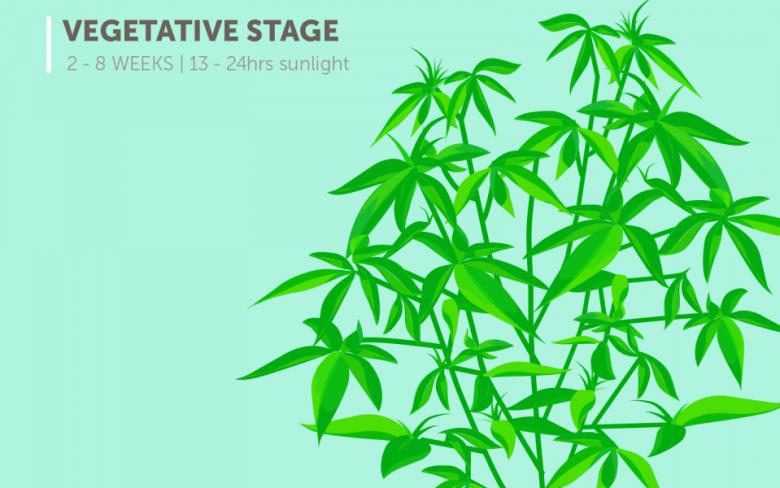 marijuana plant growth stages: vegetative stage (2-8 weeks), 13-24 hours of sunlight
