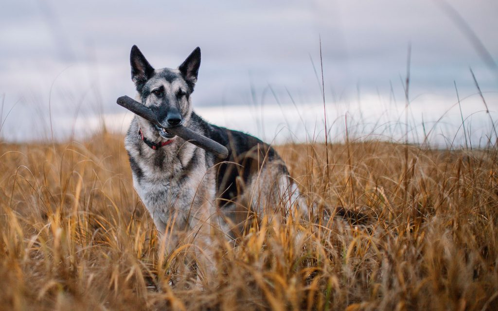 CBD for dogs and cats: getting the right dose of CBD for your dog