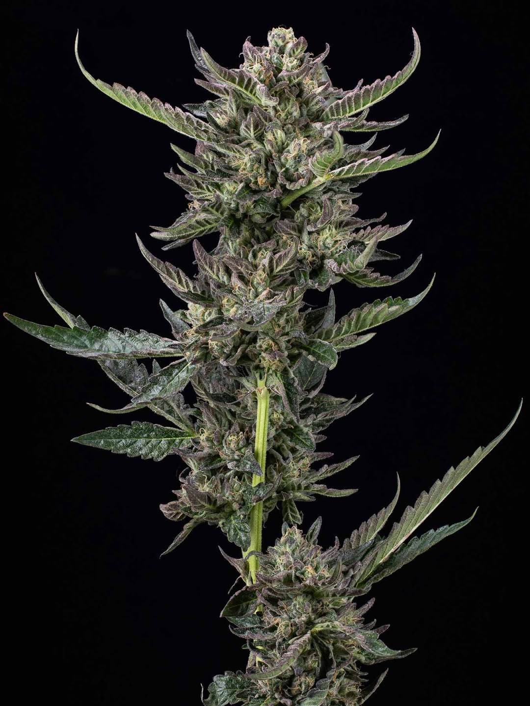 Notorious THC delivers maximum stone. (Courtesy of Humboldt Seed Co.)