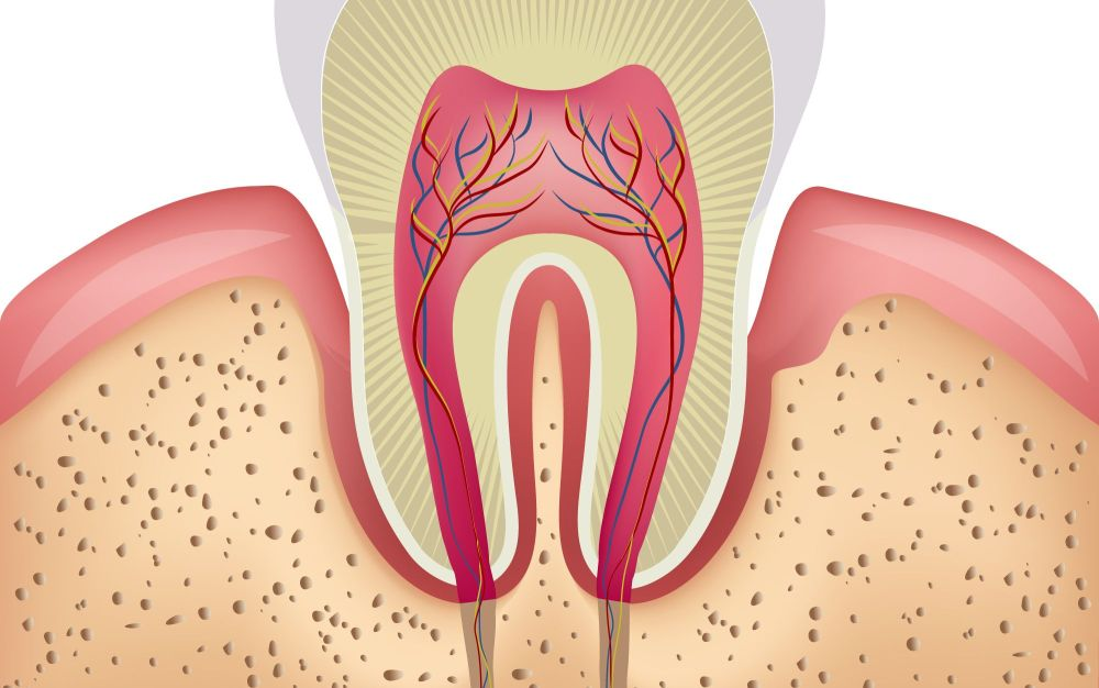 medium resolution of an illustration of the inner structures of a tooth and gums
