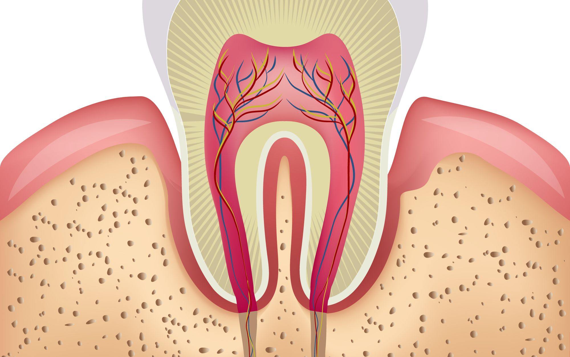 hight resolution of an illustration of the inner structures of a tooth and gums