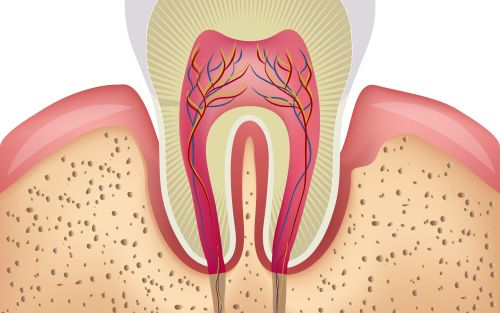small resolution of an illustration of the inner structures of a tooth and gums
