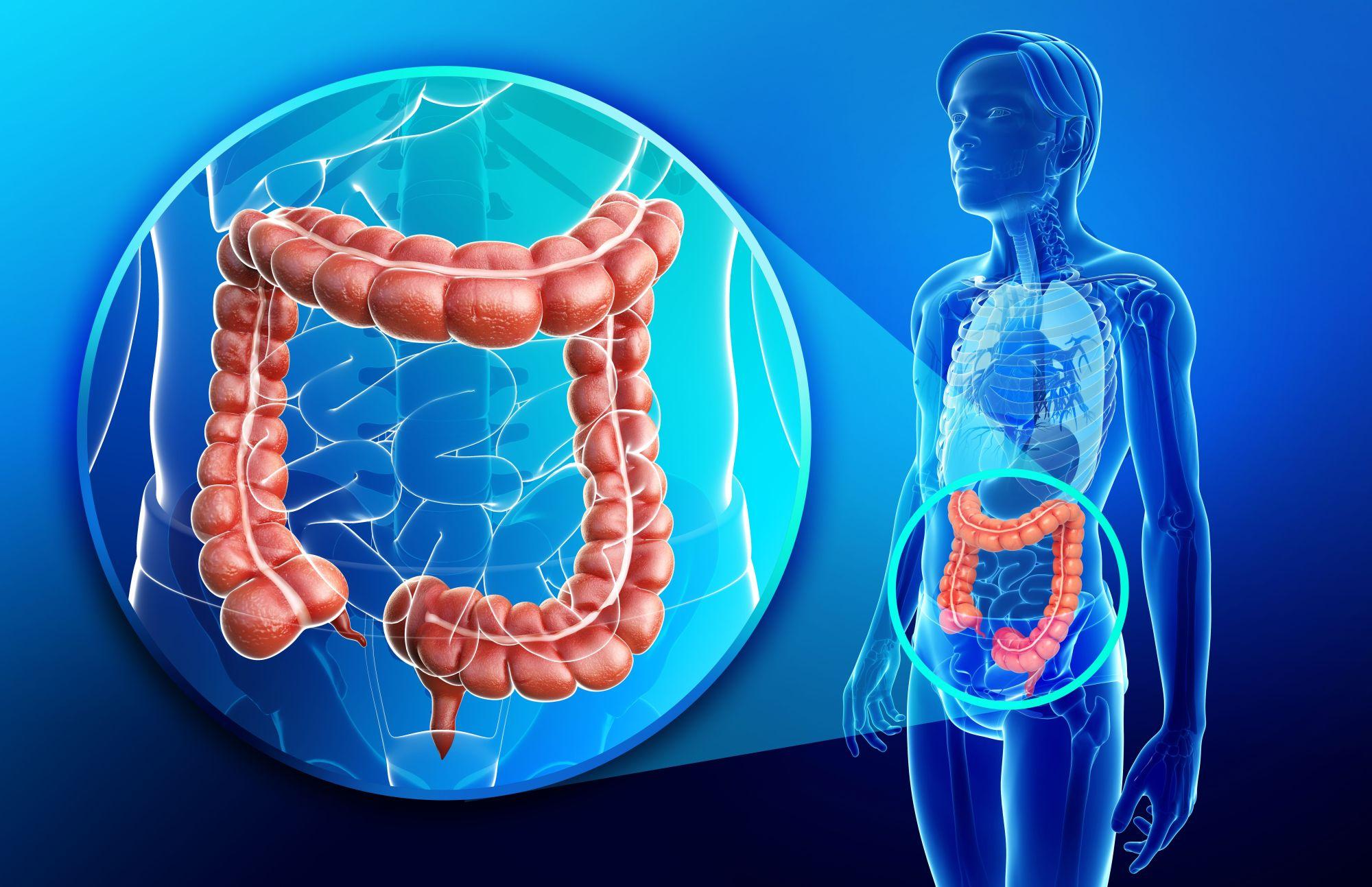 hight resolution of digital illustration of colon anatomy