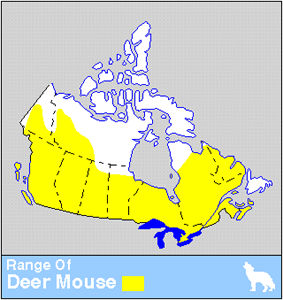Deer Mouse | The Canadian Encyclopedia