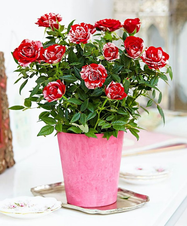 Parade Gigi Miniature Rose Bush FragrantHardy 4quot Pot