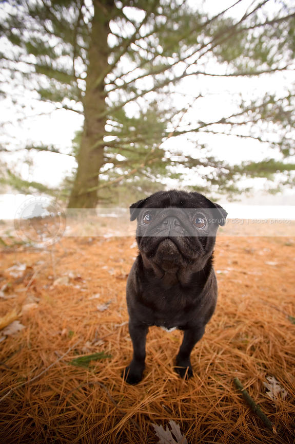 Pine Needles And Dogs : needles, Stock, Photo, Small, Black, Standing, Needles, Scruffy, Photos