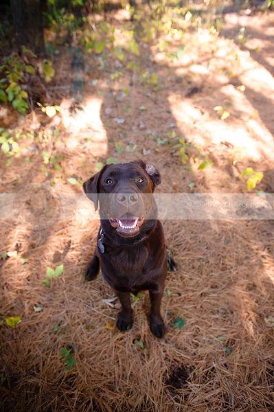 Pine Needles And Dogs : needles, Stock, Photo, Brown, Flipped, Teeth, Smiling, Upward, Needles, Scruffy, Photos