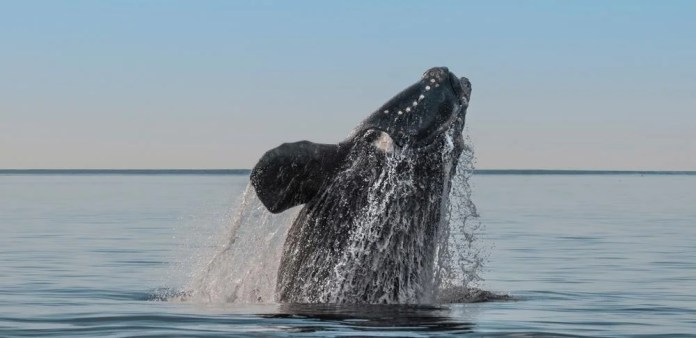 north atlantic right whale, endangered whales species