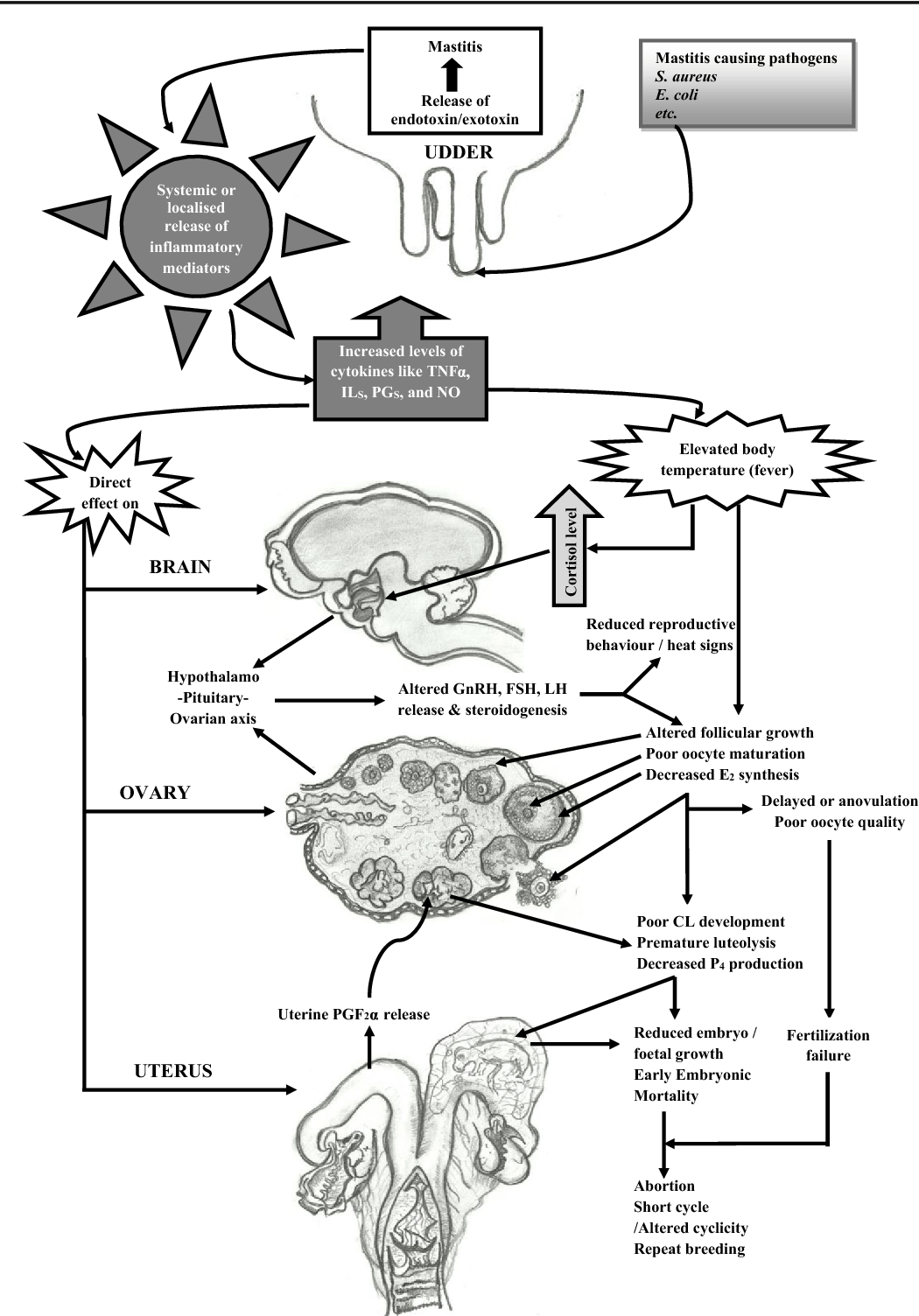 Cow Brain Diagram