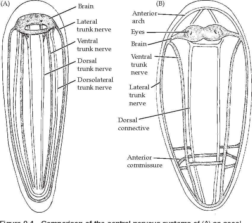 Figure 9.2 from Introduction to the Bilateria and the