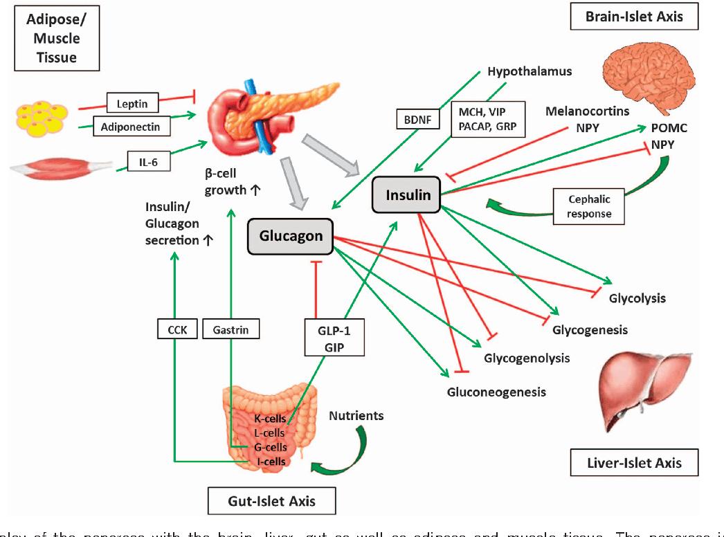 Figure 4 From Pancreatic Regulation Of Glucose Homeostasis