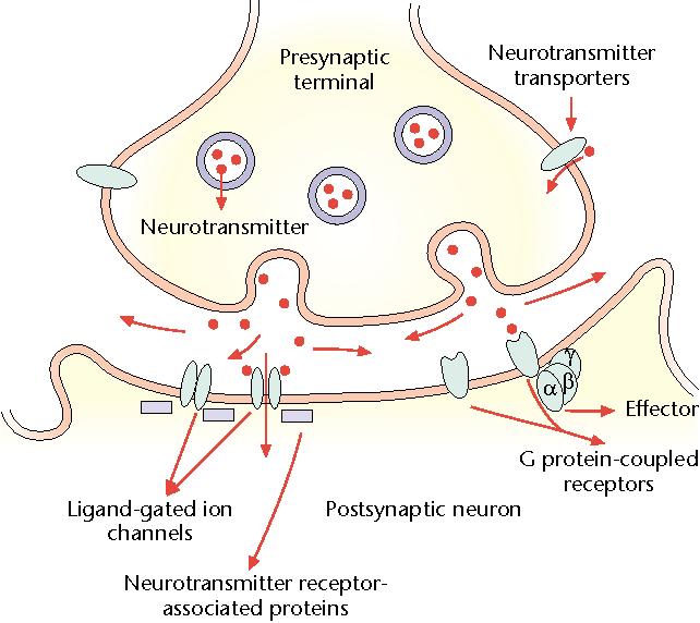 Neurotransmitter Receptors in the Postsynaptic Neuron ...
