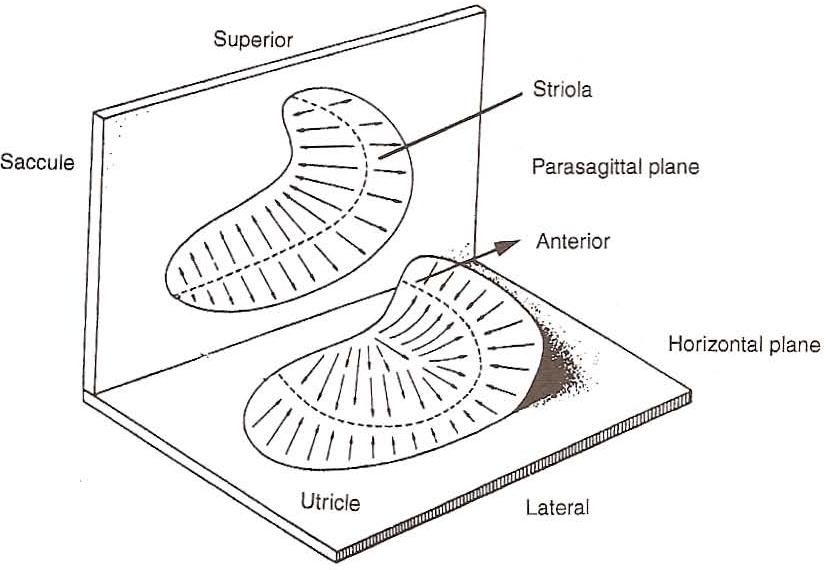 [PDF] Anatomy and Physiology of the Normal Vestibular