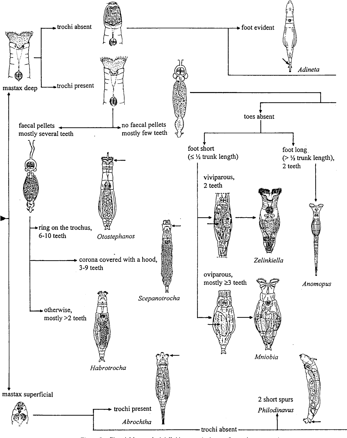 Key to the identification of the genera of bdelloid