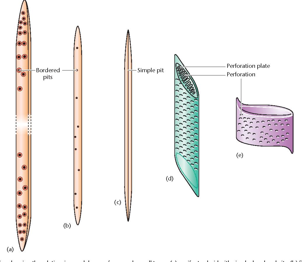 Easy Xylem Tissue Diagram