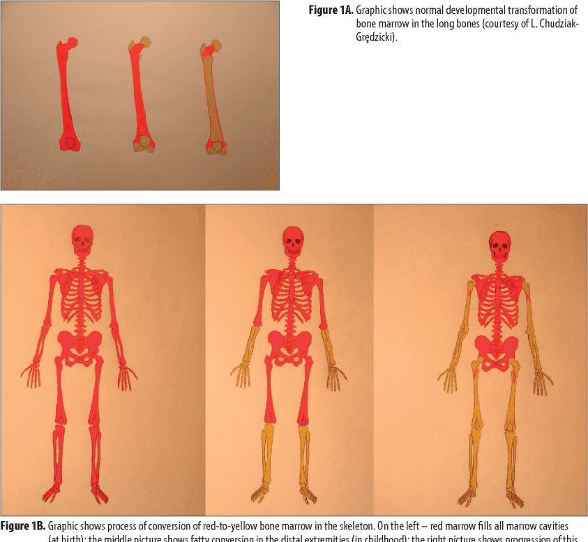 Wiring And Diagram: Diagram Of Yellow And Red Bone Marrow