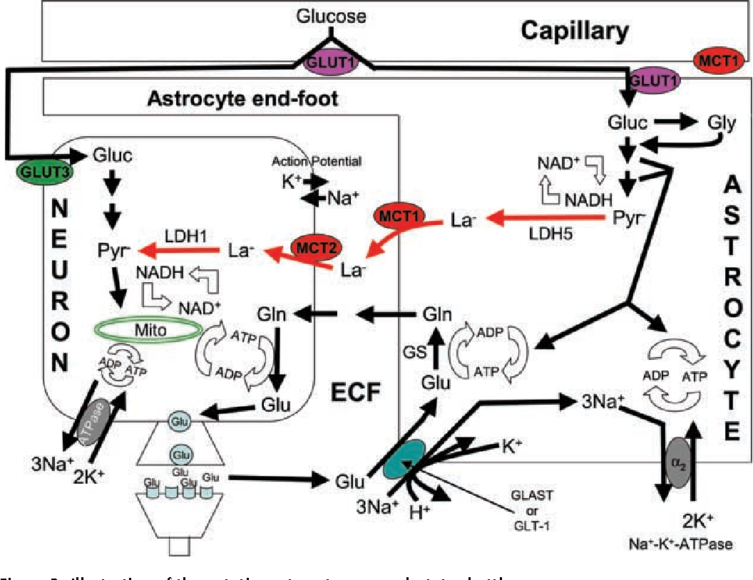 [PDF] Lactate metabolism: a new paradigm for the third
