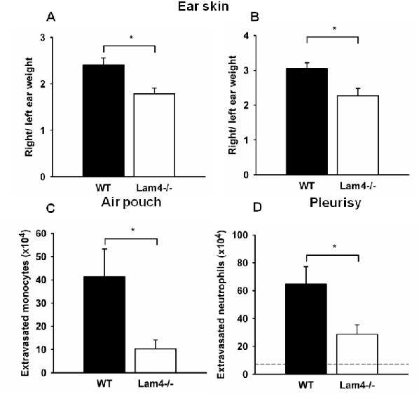 Leukocyte recruitment and control of vascular permeability