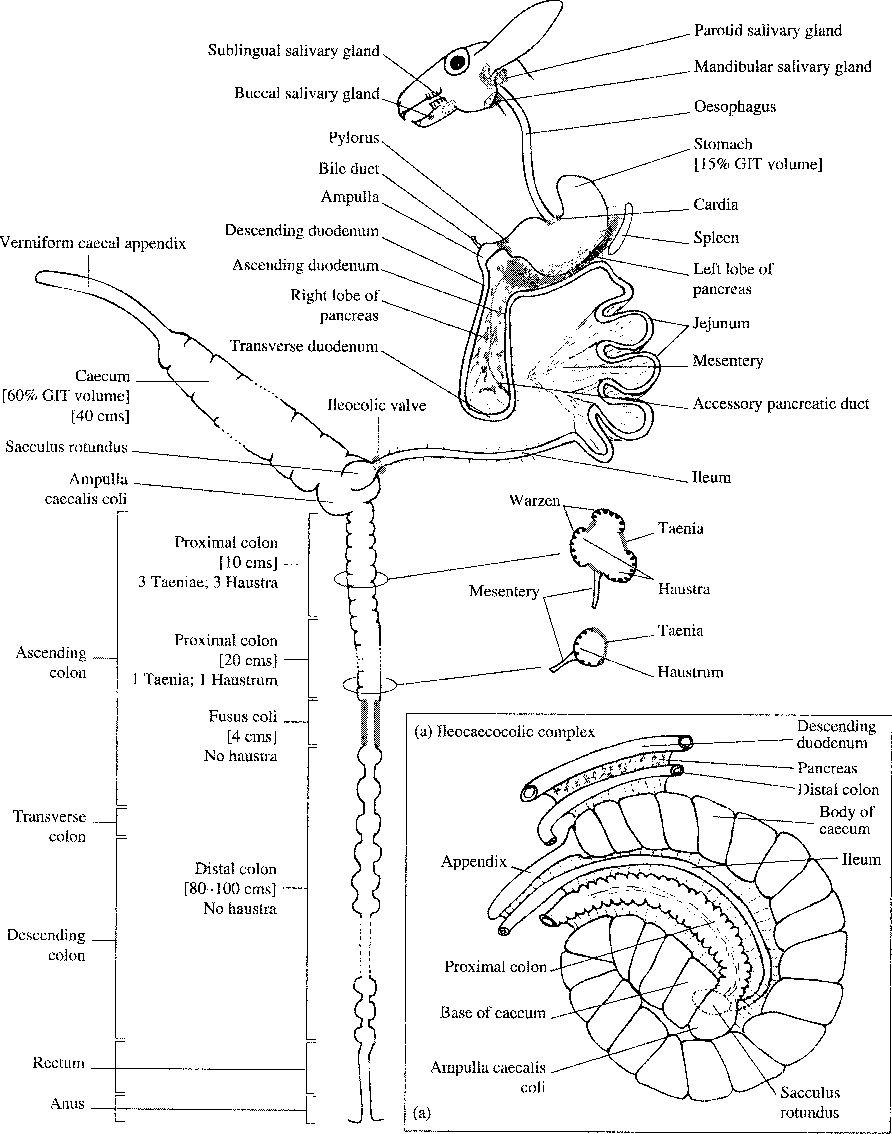 Figure 1 from Rabbit gastrointestinal physiology