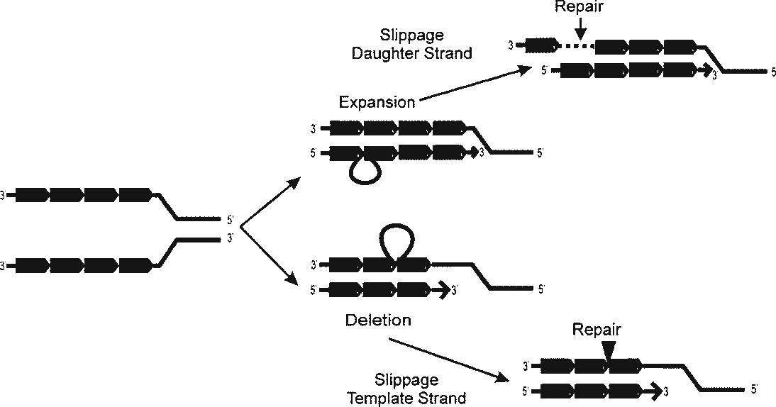 Figure 3 from Microsatellites: evolution and contribution