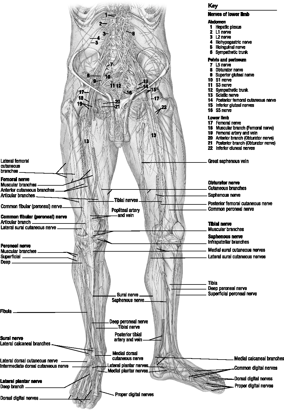 Figure 1 from Lower extremity nerve entrapments in