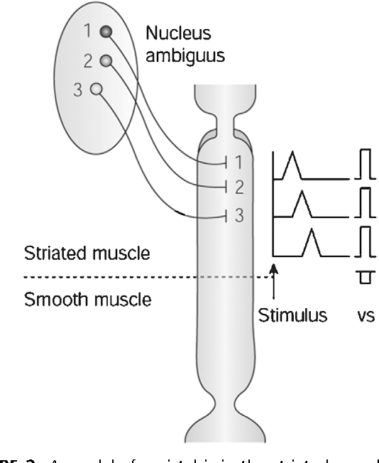 Figure 8 from Physiology of normal esophageal motility