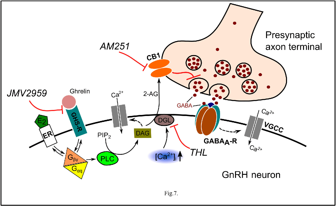 Figure 7 from Ghrelin Decreases Firing Activity of ...
