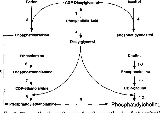 [PDF] Phosphatidylcholine biosynthesis via the CDP-choline