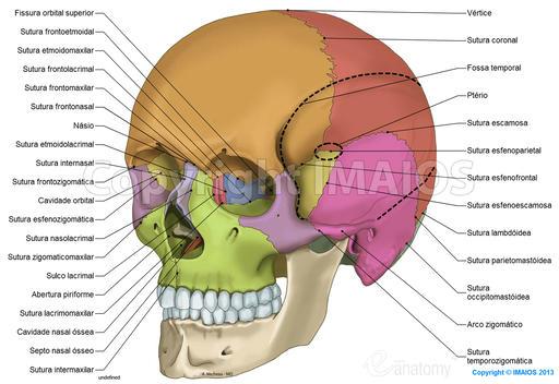 Crânio: ilustrações anatômicas