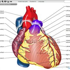 Human Heart Diagram Posterior Wiring For 3 Way Switch Ceiling Fan Illustrated Anatomy