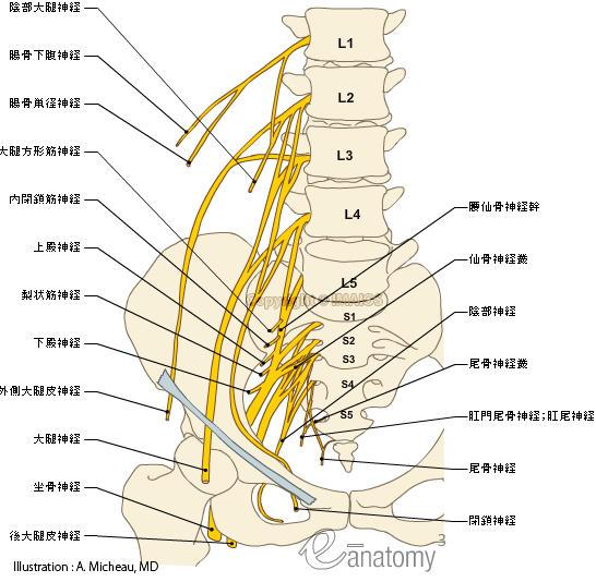 Nerve Anatomy Mri Sciatic
