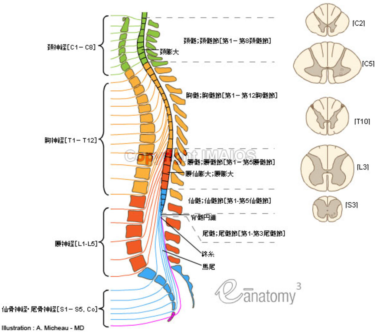 spinal cord and nerves diagram relay wiring 4 pole リンクテーブル