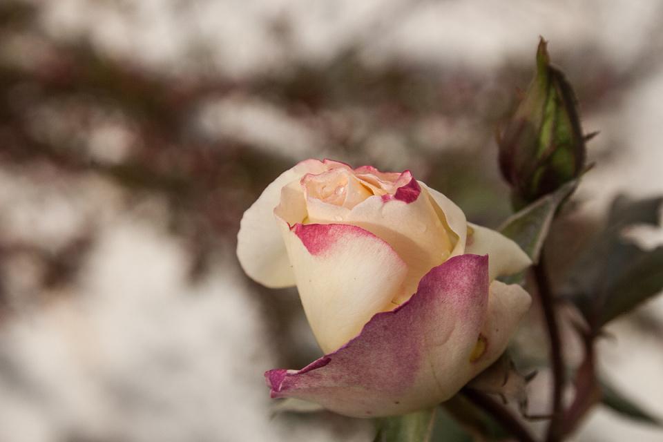 The Last Rose (backblip)