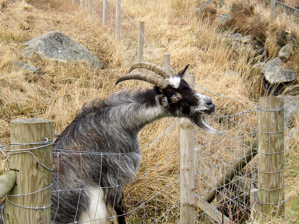Wild goat (backblip)