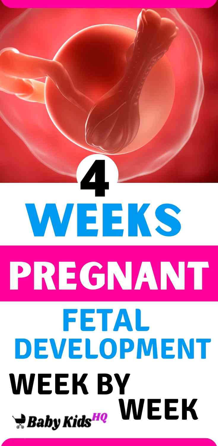Baby Development In Womb 4 Weeks Pregnant