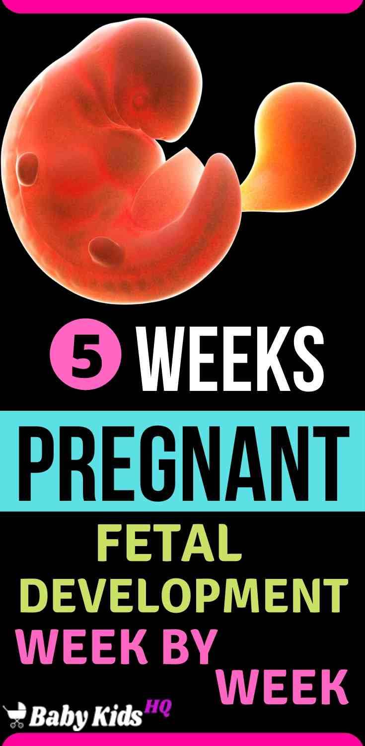 Baby Development In Womb 5 Weeks Pregnant