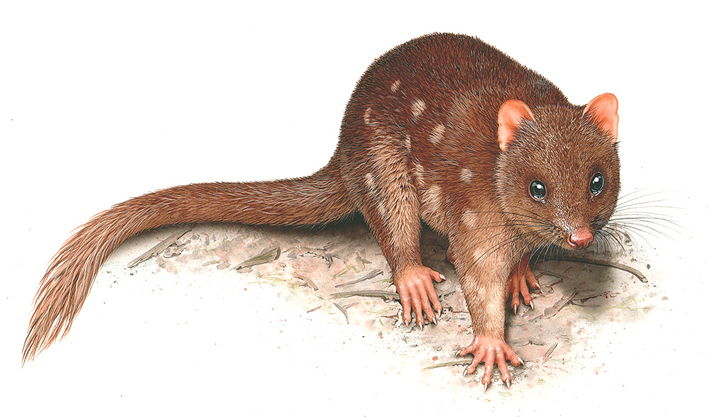 Image result for illustrations of quolls