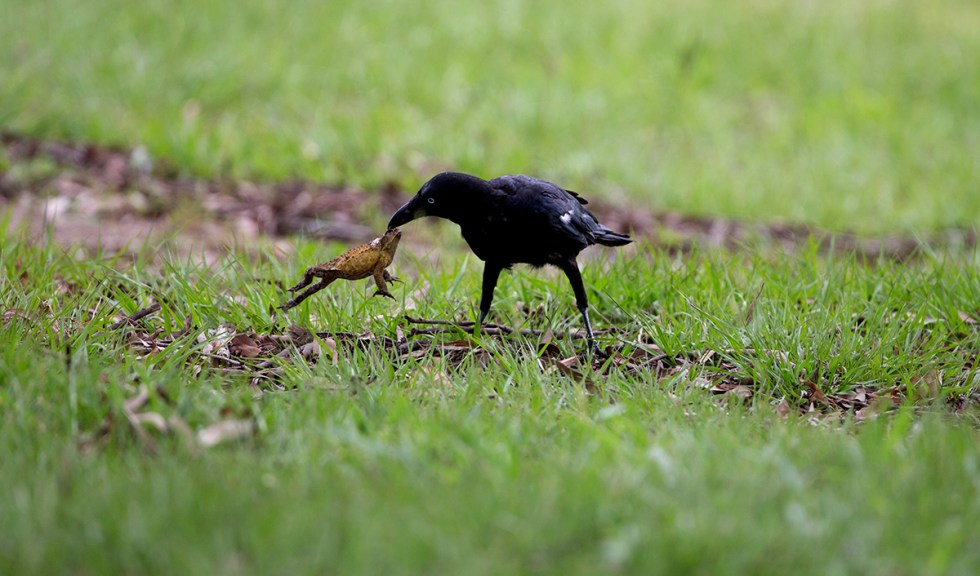 Image result for crow eation poison