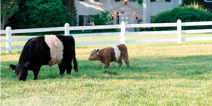 Belted Galloway cattle at Fearrington Village