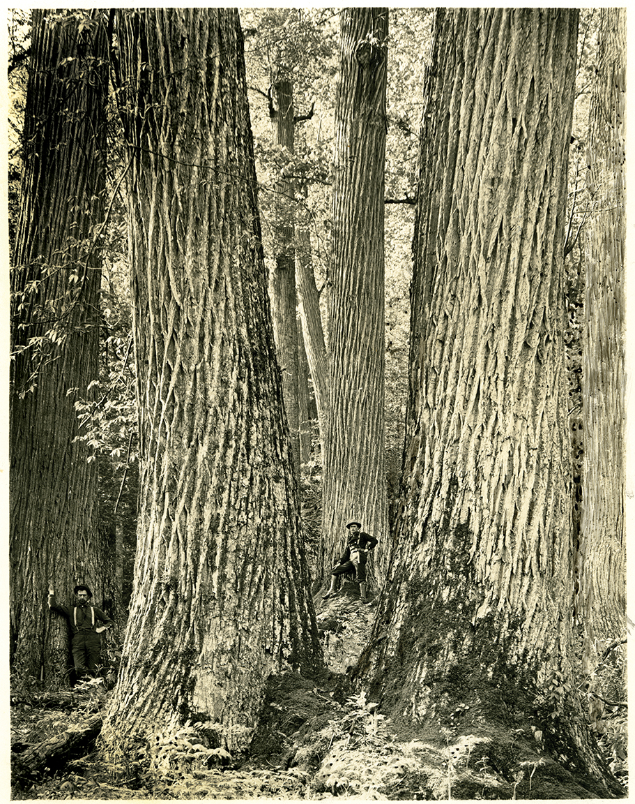 The Lord Of The Forest The American Chestnut Our State