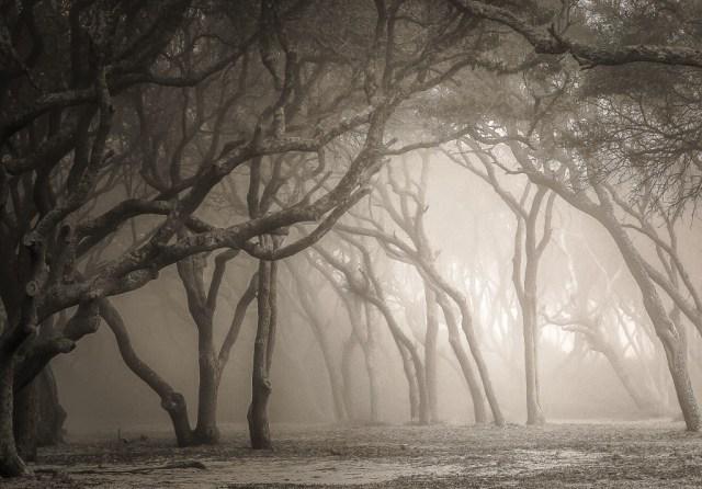 Ghost Trees of Fort Fisher. By Vicki Kohler.
