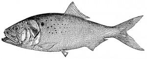 Menhaden_drawingfish
