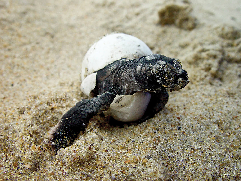the secret lives u0026 ancient instincts of sea turtles u2013 our state